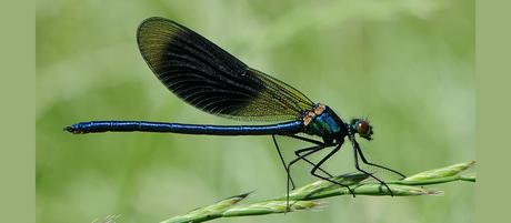 Calopteryx_splendens_4